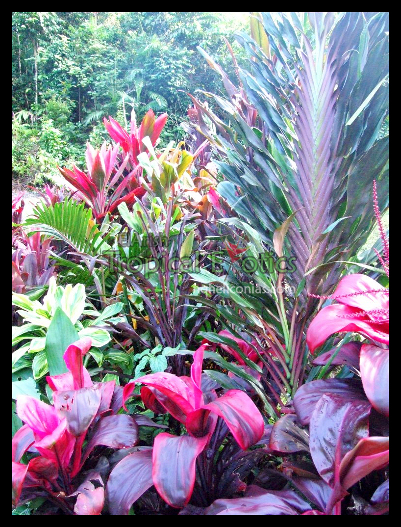 Landscaping with tropical plants full sun cordylines for Landscape plants for full sun