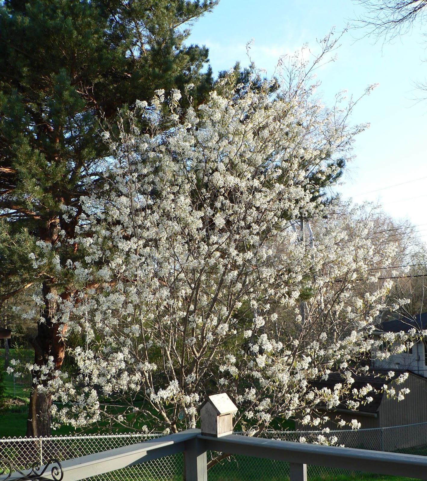 Visit My Garden Spring Flowering Trees