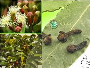 Obat Sakit Gigi Alami dan Praktis Dari Tumbuh Tumbuhan  Cepat Sembuh