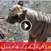 White Tiger Eating boy in Zoo Live