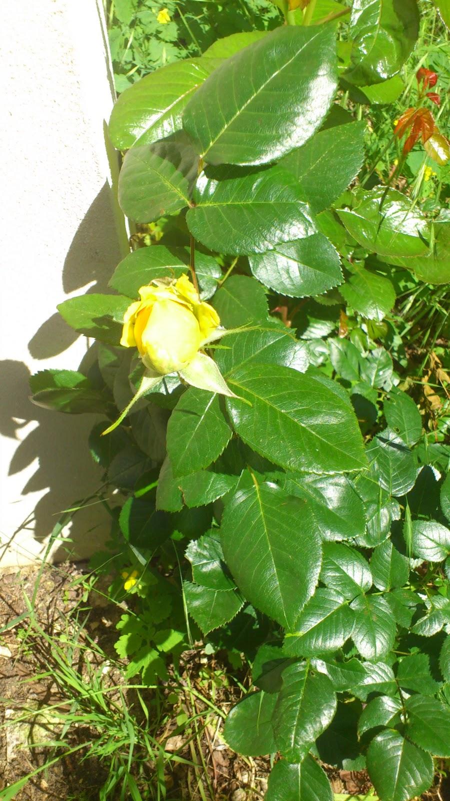vie et naissance d 39 une rose jaune association du bois dormoy. Black Bedroom Furniture Sets. Home Design Ideas