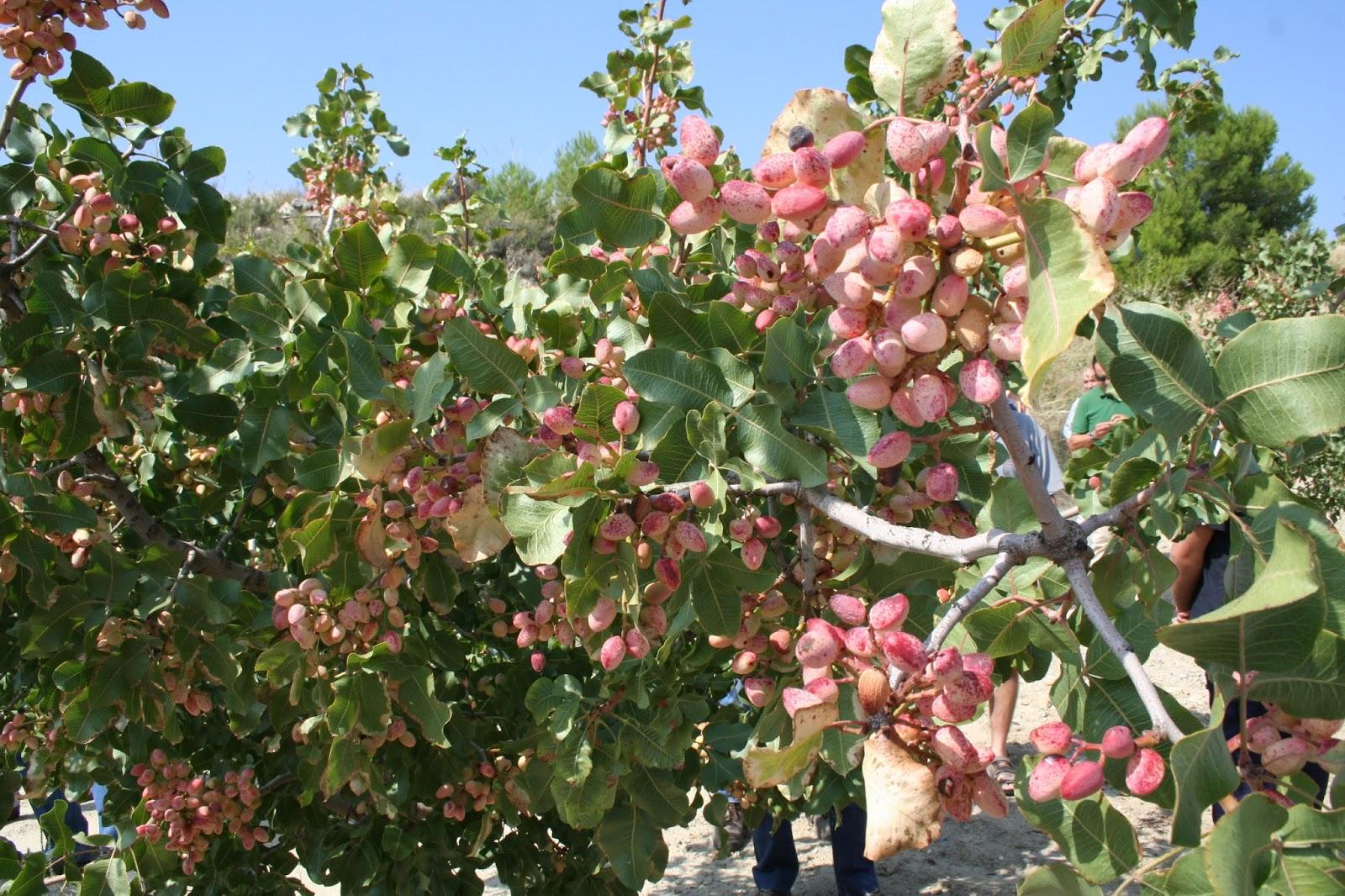 Ceheg n actualidad los pistachos se pueden cultivar en for Riego por goteo pistachos