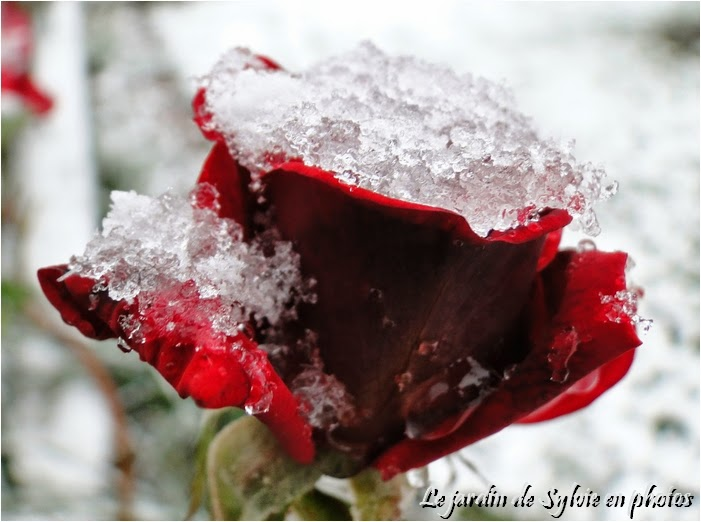 photo rose rouge givrée