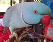 Blue Parrots HD