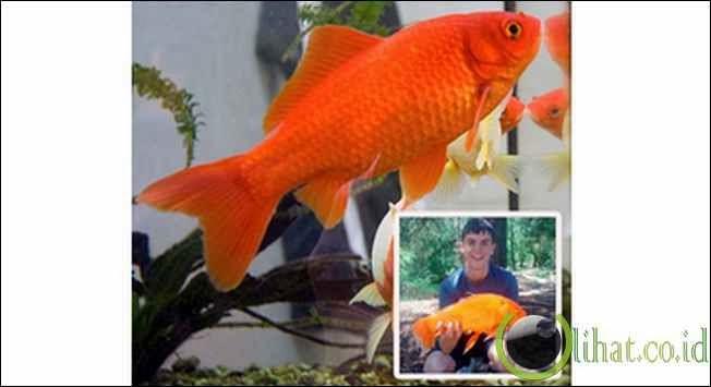 Goldie: Ikan Mas 38 Cm