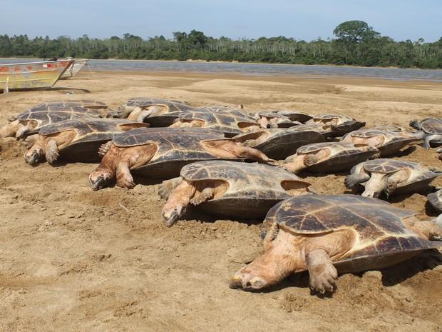 Segundo fiscais ambientais, tartarugas seriam vendidas em Boa Vista e Manaus para serem consumidas em ceias natalinas (Foto: Divulgação/ ICMBio)