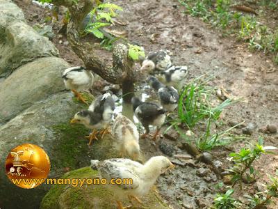 Foto : Anak ayam kampung dengan dilepas