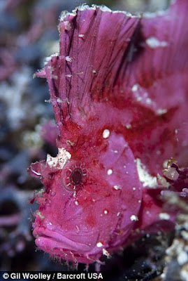 Leaf Scorpionfish warna pink