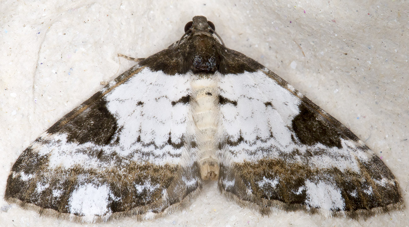 Pretty Chalk Carpet, Melantha porcellata.  Hayes, 30 July 2014.