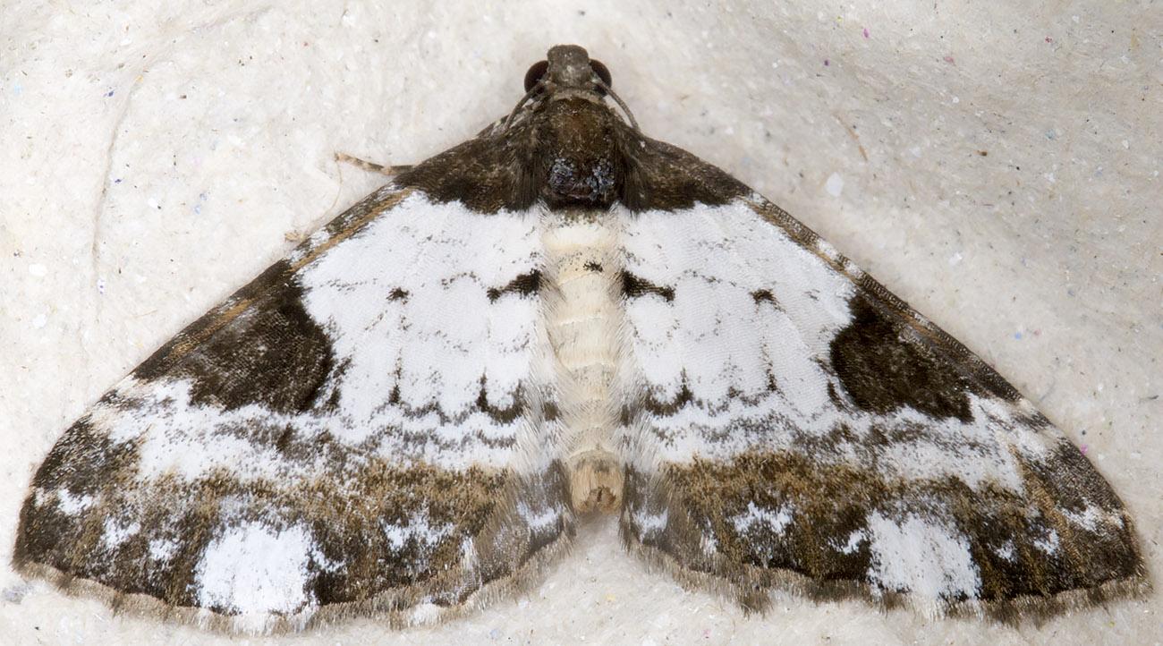 Pretty Chalk Carpet, Melantha porcellata.  Hayes, 30 July 2014.