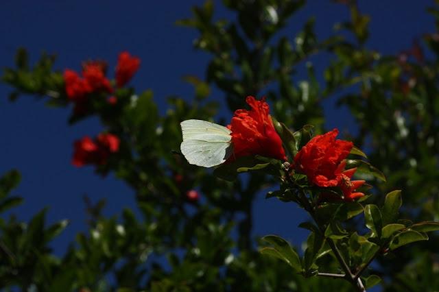 Kleopatra kelebeği ağaçta kanat altı fotoğrafı