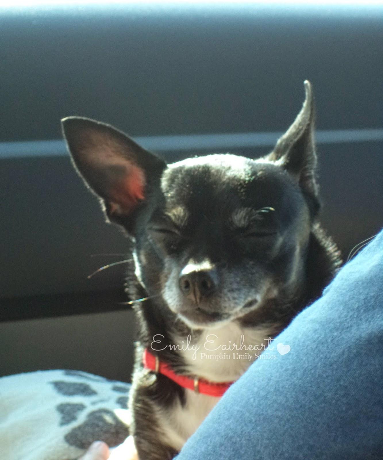 Minnie, Chihuahua closing her eyes