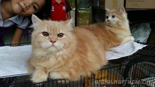 kucing untuk di jual