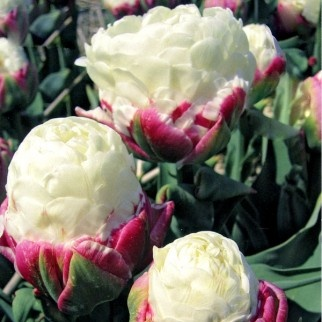 ice cream tulips are real cold cow ice cream. Black Bedroom Furniture Sets. Home Design Ideas