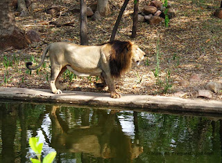 Asiatic lion also known as Indian Lion