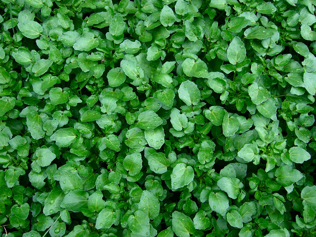 Cresson watercress