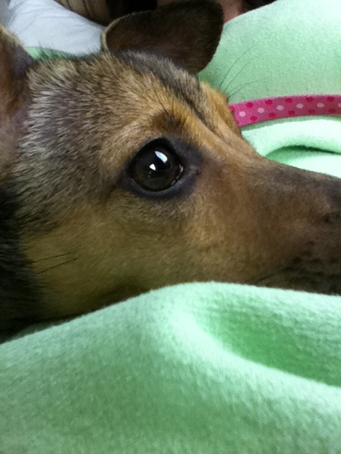 Italian+greyhound+mixed+with+chihuahua