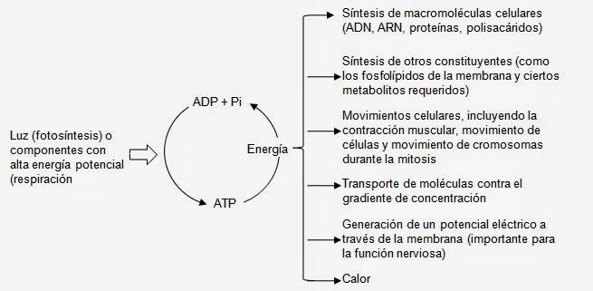 ATP, un cargador energético | Apuntes de Bioquímica