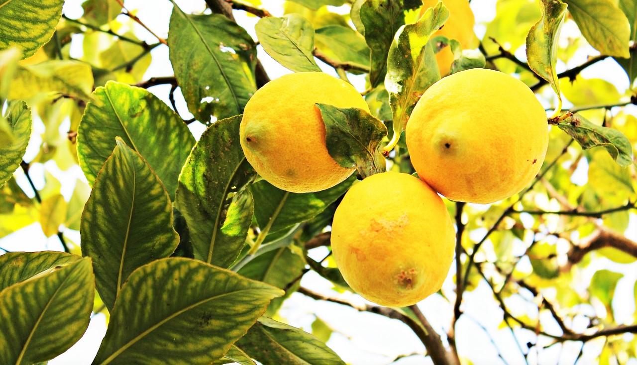 eso s todo de forma natural por eso vamos a ensearte cmo hacer abono natural y casero para un limonero