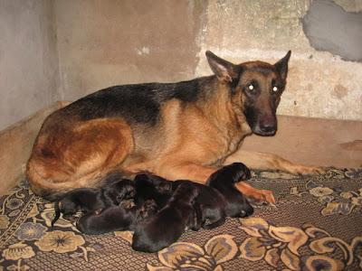 Không ít ca chó bị mổ đẻ...oan !