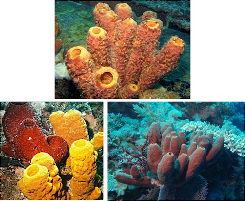 Reino Animalia: Filo Porifera