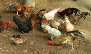 Cara pembuatan pakan/ransum untuk ternak ayam buras