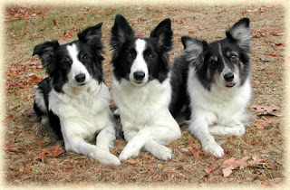 Border Collie Dogs Wallpaper