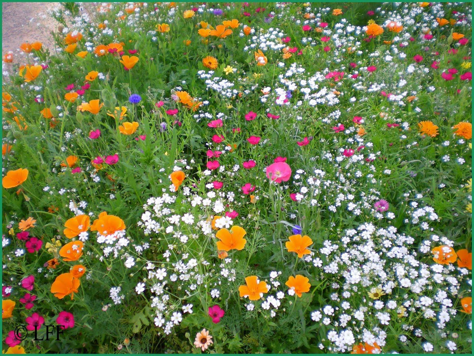 flores e jardins fotos:Plantas e Jardins: plantas, flores e jardinagem : Semeando o prado