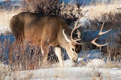 Mule Deer Buck, Rocky Mountain National Park
