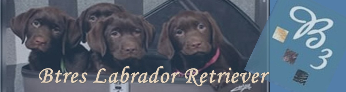 *** Btres Labrador Retriever***