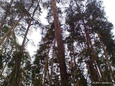сосновый лес рядом с б/о Подснежник