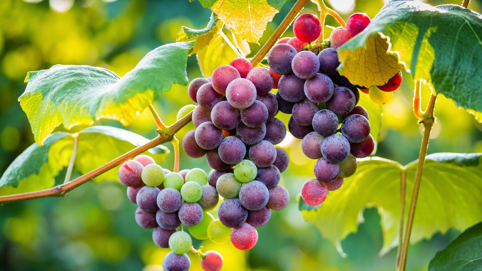 red-grapes-nice-close-up-scene