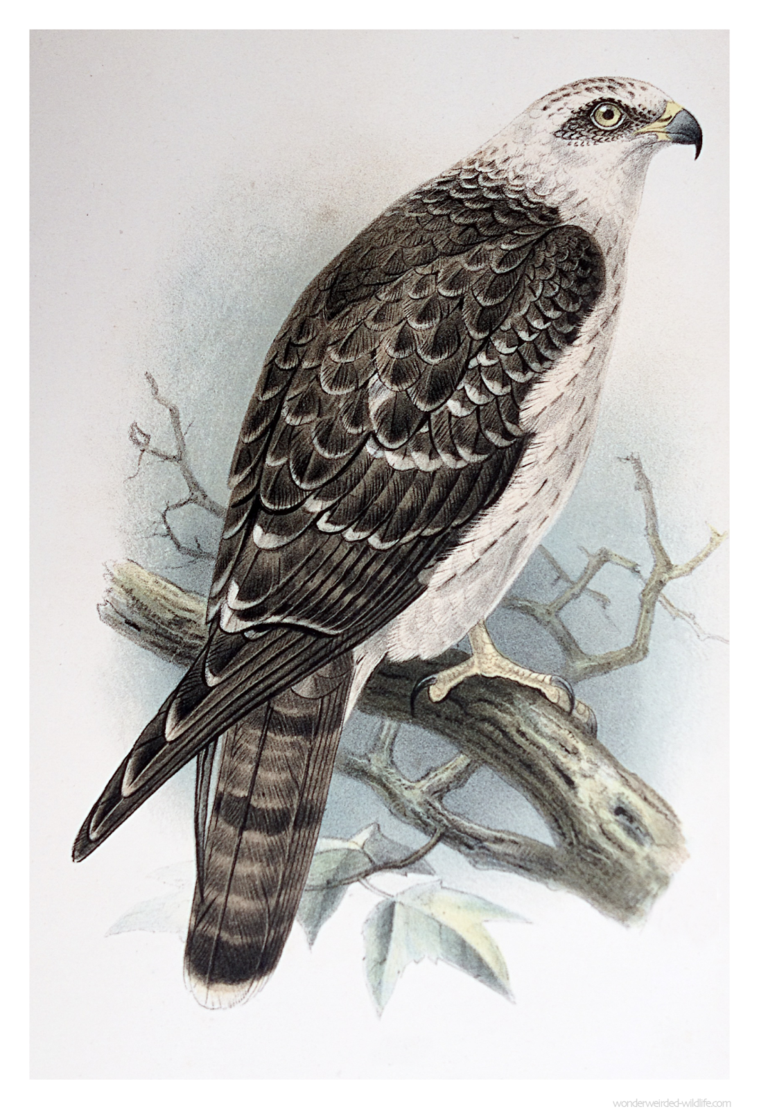 Honey Buzzard Picture - Wonderweirded Vintage Animal Illustrations