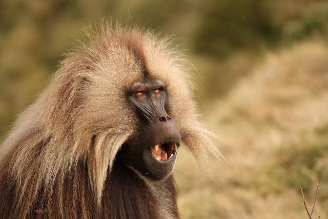 Baboon Rapes Female Teachers And Runs Away With Their Pants