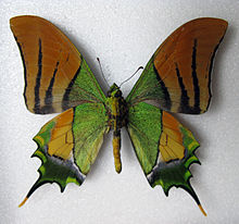 Kaiser-i-Hind butterfly