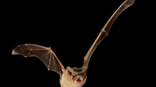 Morcego brasileiro é o animal voador mais rápido do mundo