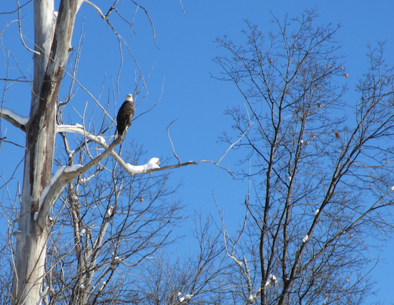 Bald eagle on Belle Isle in Detroit, MI