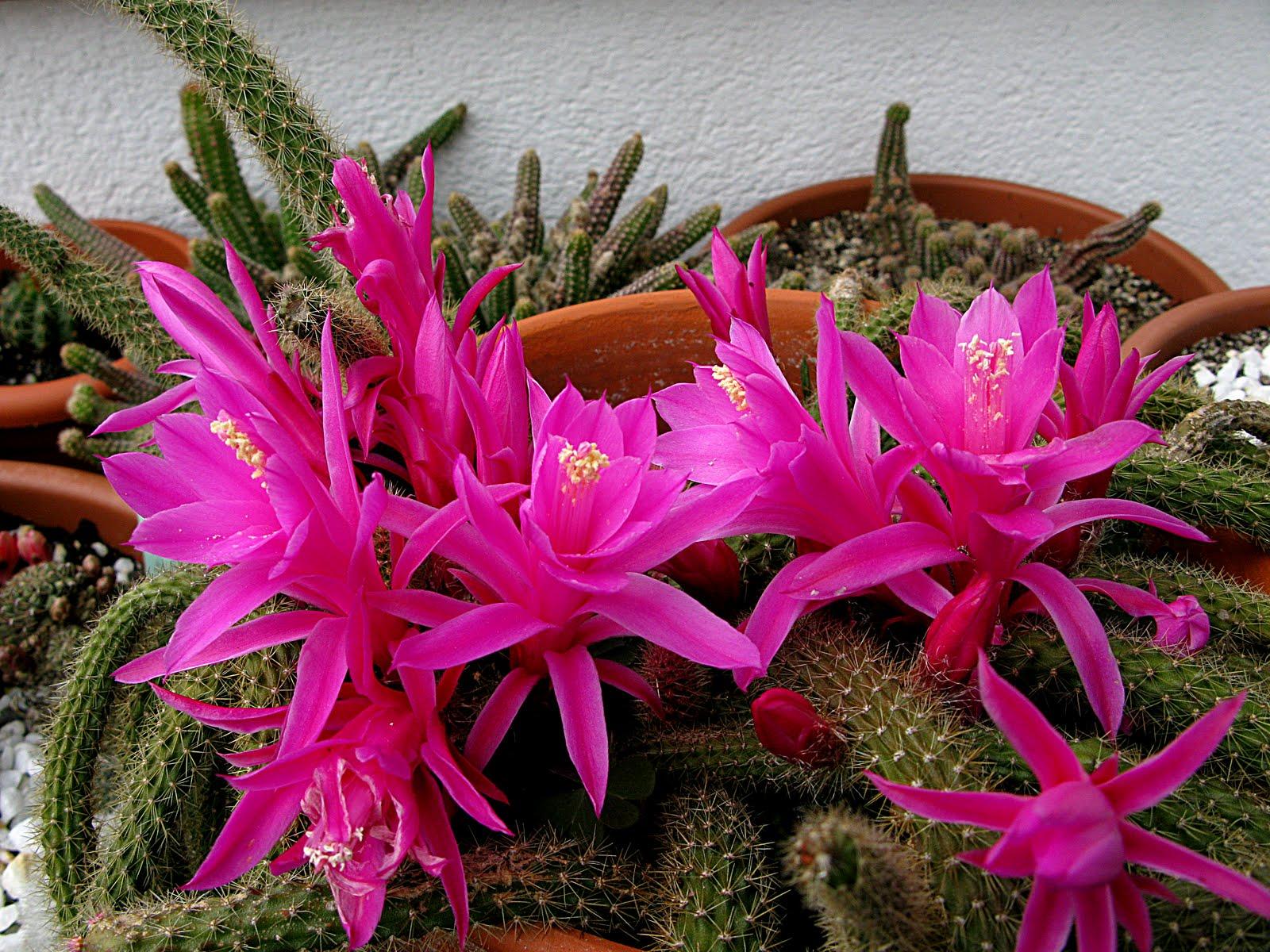 Arte y jardiner a enfermedades y par sitos de los cactus - Informacion sobre los cactus ...