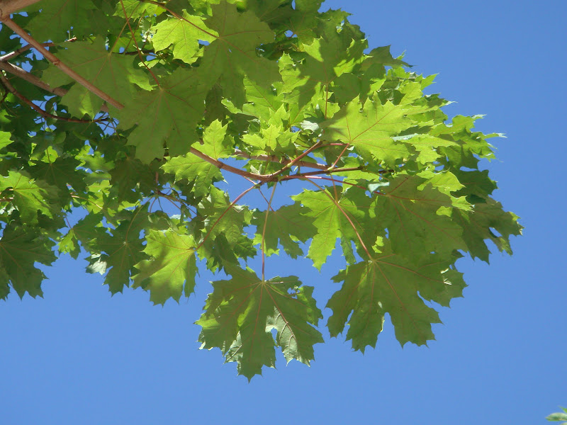 Flora urbana de getafe arce real for Lista de arboles de hoja caduca