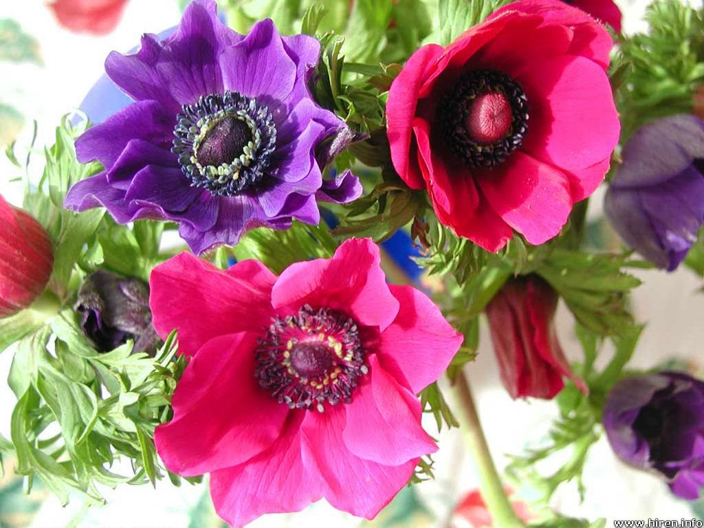are using anemones in a floral arrangement then a potted anemone that ...