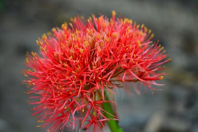 gambar bunga hasil jepretan lensa fix 50mm f1,8 nikon