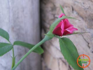 Foto Sekuntum Mawar Merah