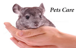 Caring for a Chinchilla