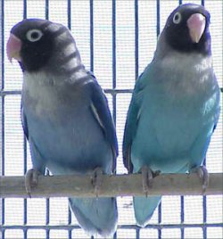 Love Bird kacamata Biru