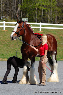 DoTerra, Young Living, Equine Raindrop, Essential Oils, Essential Oils for Horses, AromaTherapy, Clydesdales, Clydesdales for Sale, Budweiser Clydesdales,Clydesdale, Clydesdale Hitch, Clydesdale Mares, clydesdale stallion, Clydesdale Breeders, CBUSA, Clydesdale for Sale, Clydesdale Stallion
