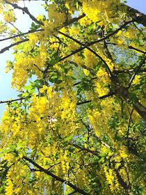 Gullregnet blommar 5.6.2019