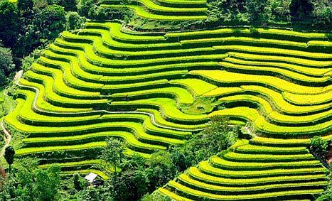 ruộng bậc thang mùa lúa chín ở Hoàng su Phì