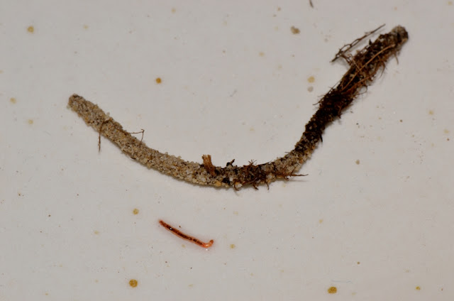 midge larva and sand tube