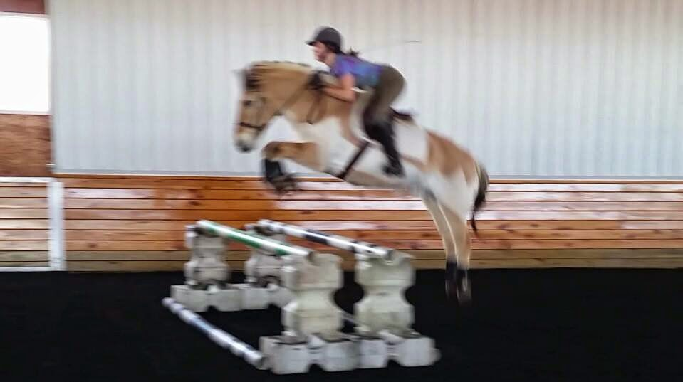 Fjord horse jumping