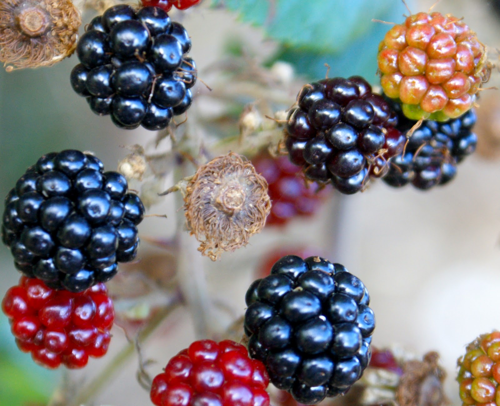 The Gardening Shoe: There's No Fool Like a Blackberry Fool